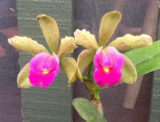 Seagrove Orchid Cattleya Page